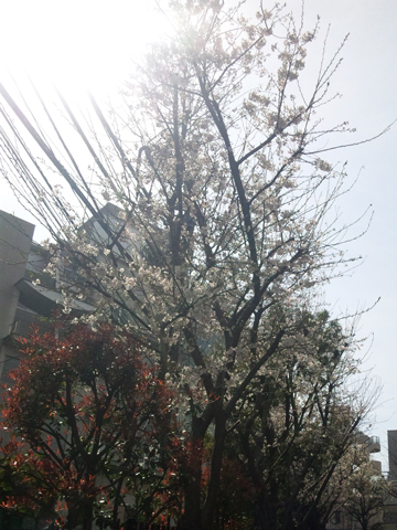 ebisu_sakura.jpg